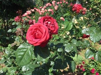 2017May21-Roses1 - 1.jpg