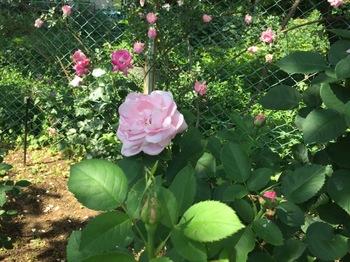 2017May21-Roses5 - 1.jpg