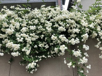 2019Apr29-Flower1 - 1.jpg