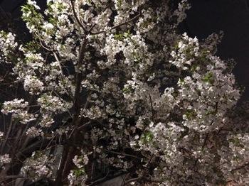 2019Mar27-Sakura - 1.jpg