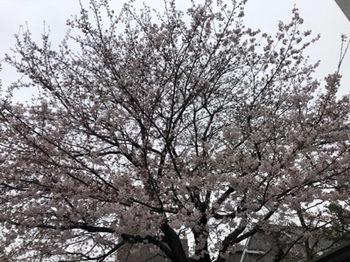 2019Mar30-Sakura1 - 1.jpg