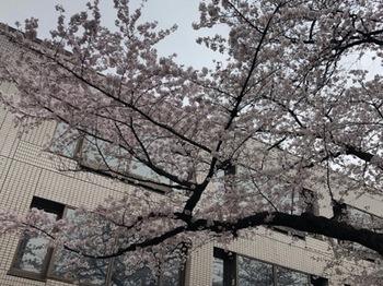 2019Mar30-Sakura4 - 1.jpg