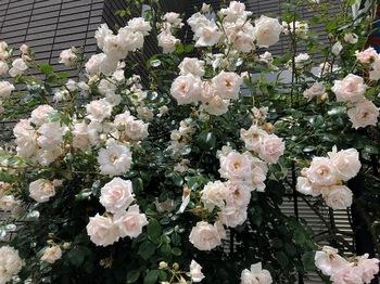 2020May24-Roses1 - 1.jpeg