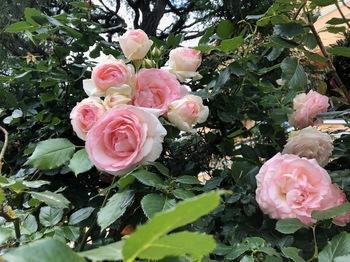 2020May24-Roses2 - 1.jpeg
