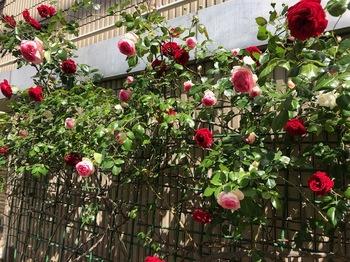 2021Apr30-Rose - 1.jpeg