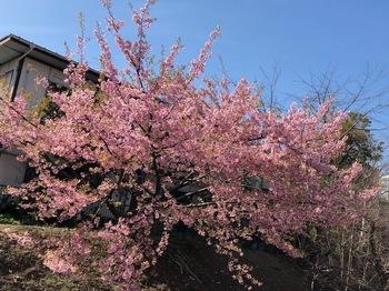 2021Feb27-Sakura1 - 1.jpeg