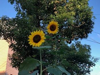 2021Jul18-Sunflower - 1.jpeg