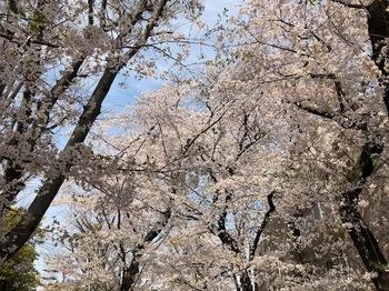2021Mar27-Sakura1 - 1.jpeg