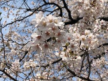 2021Mar27-Sakura2 - 1.jpeg