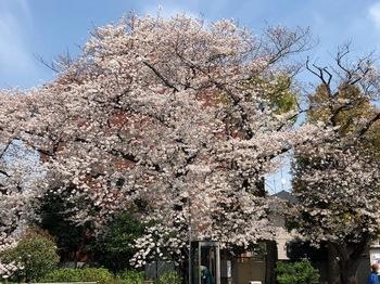 2021Mar27-Sakura5 - 1.jpeg