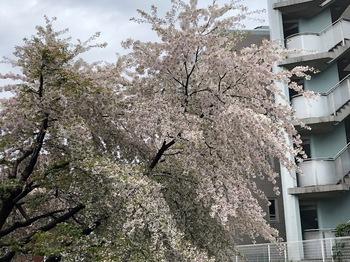 2021Mar28-Sakura3 - 1.jpeg