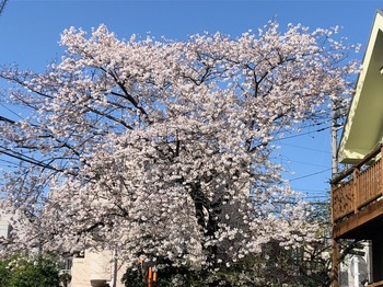 2021Mar29-Sakura - 1.jpeg